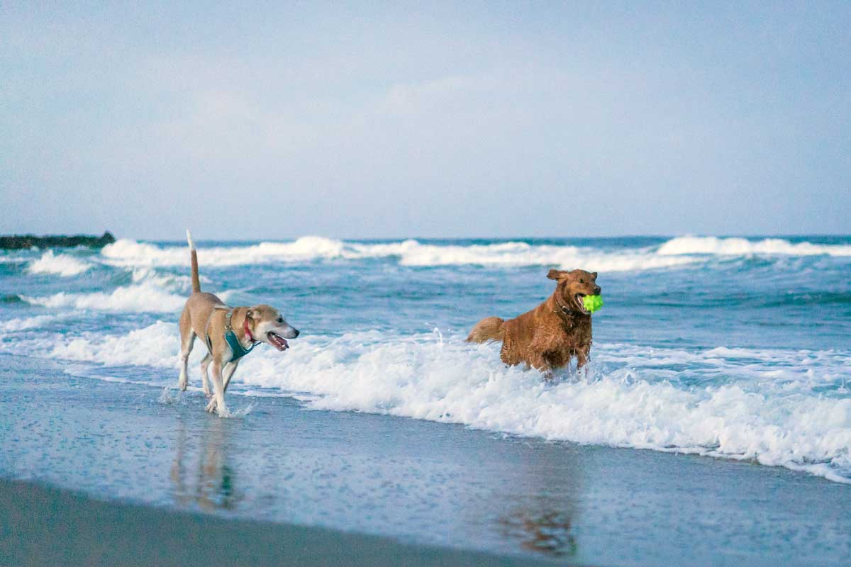 Dogs playing in the ocean, on Asbury Park Beach